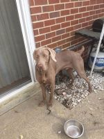 Weimaraner Puppies for sale in Norfolk, VA, USA. price: NA