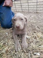 Weimaraner Puppies for sale in Franklin, NE 68939, USA. price: NA