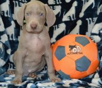 Weimaraner Puppies for sale in New Orleans, LA, USA. price: NA