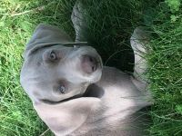 Weimaraner Puppies for sale in Worcester, MA, USA. price: NA
