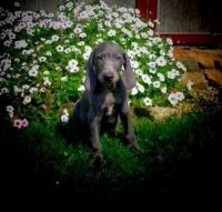 Weimaraner Puppies for sale in Indianapolis, IN, USA. price: NA