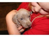 Weimaraner Puppies for sale in Raleigh, NC, USA. price: NA