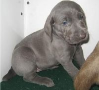 Weimaraner Puppies for sale in West Jordan, UT, USA. price: NA
