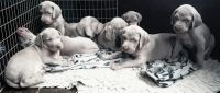 Weimaraner Puppies for sale in Tampa, FL, USA. price: NA