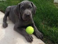 Weimaraner Puppies for sale in Grand Rapids, MI, USA. price: NA