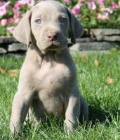 Weimaraner Puppies for sale in Brownton, MN 55312, USA. price: NA