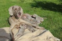 Weimaraner Puppies for sale in Pittsburgh, PA, USA. price: NA