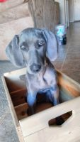 Weimaraner Puppies for sale in Chandler, AZ, USA. price: NA