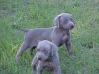 Weimaraner Puppies for sale in Washington, DC, USA. price: NA