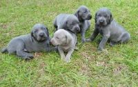 Weimaraner Puppies for sale in Tallahassee, FL, USA. price: NA