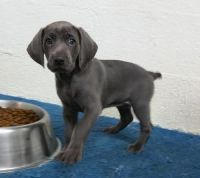 Weimaraner Puppies for sale in Newark, NJ, USA. price: NA