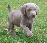 Weimaraner Puppies for sale in Beaver Creek, CO 81620, USA. price: NA