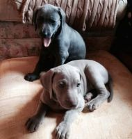 Weimaraner Puppies for sale in Huntsville, AL, USA. price: NA