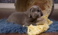 Weimaraner Puppies for sale in Bakersfield, CA, USA. price: NA
