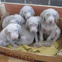 Weimaraner Puppies for sale in Denver, CO, USA. price: NA