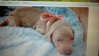 Weimaraner Puppies for sale in Duncan, OK, USA. price: NA