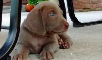 Weimaraner Puppies for sale in Alma Center, WI 54611, USA. price: NA