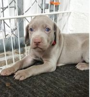Weimaraner Puppies for sale in Del Rio, TX 78840, USA. price: NA