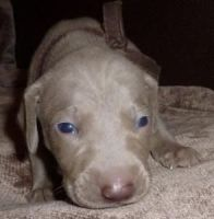 Weimaraner Puppies for sale in Fontana, CA, USA. price: NA