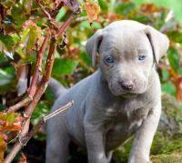Weimaraner Puppies for sale in Lingle, WY 82223, USA. price: NA