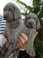 Weimaraner Puppies for sale in Warwick, RI, USA. price: NA