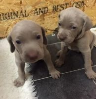 Weimaraner Puppies for sale in Rochester, NY, USA. price: NA