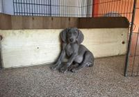 Weimaraner Puppies for sale in East Los Angeles, CA, USA. price: NA