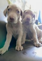 Weimaraner Puppies for sale in Baywood-Los Osos, CA 93402, USA. price: NA