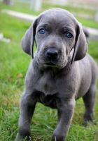 Weimaraner Puppies for sale in San Diego, CA, USA. price: NA