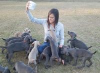 Weimaraner Puppies for sale in Donalsonville, GA 39845, USA. price: NA