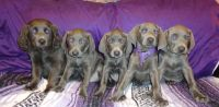 Weimaraner Puppies for sale in Cheraw, SC 29520, USA. price: NA