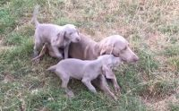 Weimaraner Puppies for sale in Massachusetts Ave, Boston, MA, USA. price: NA