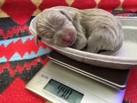 Weimaraner Puppies for sale in NJ-38, Cherry Hill, NJ 08002, USA. price: NA