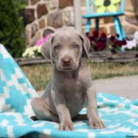 Weimaraner Puppies for sale in Alberta Ave, Staten Island, NY 10314, USA. price: NA