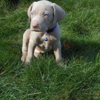 Weimaraner Puppies for sale in Canton, OH, USA. price: NA