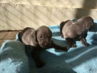 Weimaraner Puppies for sale in Los Angeles, CA, USA. price: NA
