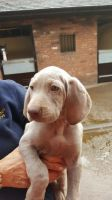 Weimaraner Puppies for sale in Philadelphia, PA, USA. price: NA