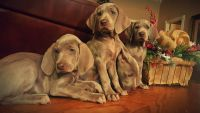 Weimaraner Puppies for sale in Harleton, TX 75651, USA. price: NA