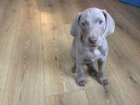 Weimaraner Puppies for sale in California St, San Francisco, CA, USA. price: NA