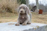 Weimaraner Puppies for sale in Austin St, Corpus Christi, TX, USA. price: NA