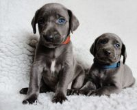 Weimaraner Puppies for sale in Eustis, FL, USA. price: NA
