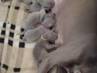 Weimaraner Puppies for sale in Boston, MA 02114, USA. price: NA