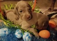 Weimaraner Puppies for sale in Perry, MO 63462, USA. price: NA