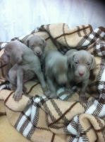 Weimaraner Puppies for sale in El Paso, TX, USA. price: NA
