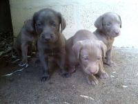 Weimaraner Puppies for sale in Michigan Ave, Inkster, MI 48141, USA. price: NA
