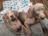 Weimaraner Puppies for sale in Bloomfield Ave, Bloomfield, CT 06002, USA. price: NA