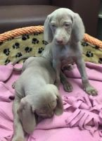 Weimaraner Puppies for sale in Paris, TX 75461, USA. price: NA