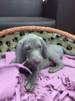 Weimaraner Puppies for sale in New York, NY, USA. price: NA