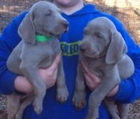 Weimaraner Puppies for sale in Tecate, CA 91987, USA. price: NA