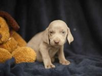 Weimaraner Puppies for sale in 10001 US-4, Whitehall, NY 12887, USA. price: NA